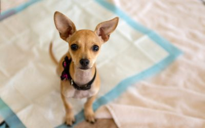 Five Common Puppy Training Mistakes to Avoid