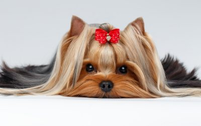 The Chic Canine: How to Make Imaginative Bows for Your Dog