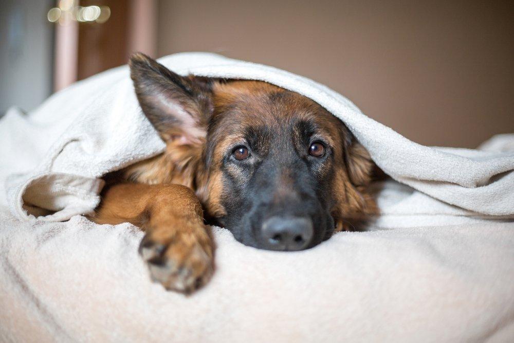 do german shepherds make good pets